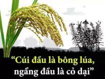 Cúi đầu là bông lúa, ngẩng đầu là cỏ dại